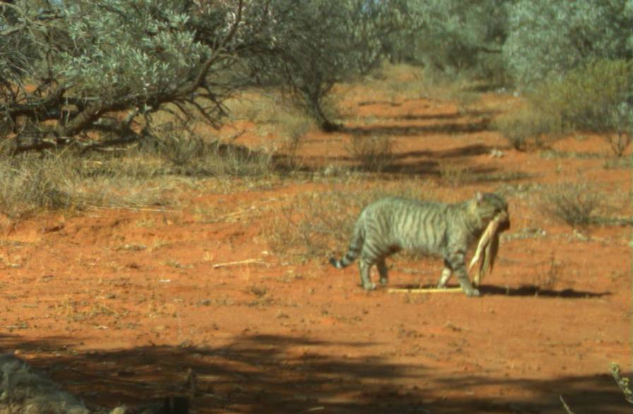 Carcass Cam captures a feral cat with a sand goanna in its mouth. Photo: Emma Spencer