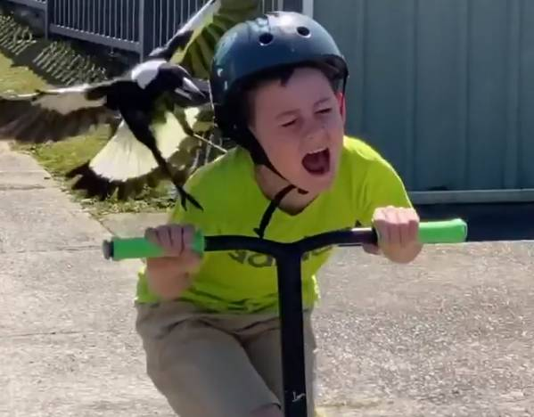 A scene from Wayne Sherwood's now-viral video shows his son being fended off by a magpie.
